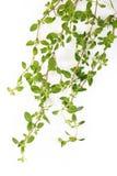белизна тимиана цветка предпосылки зацветая Стоковые Фото