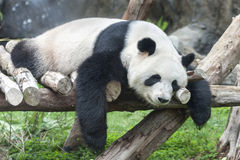 белизна типа панды иллюстрации шаржа медведя предпосылки Стоковое фото RF