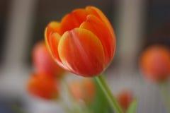 белизна тюльпана изоляции цветка Стоковая Фотография RF