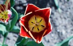 белизна тюльпана изоляции цветка Стоковые Изображения RF