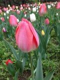 белизна тюльпана изоляции цветка Стоковое Изображение RF