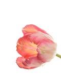 белизна тюльпана предпосылки розовая Стоковое Изображение RF