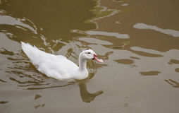 белизна утки Стоковая Фотография RF