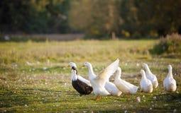 белизна утки Стоковое Фото