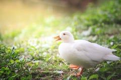 Белизна утки Стоковое Изображение
