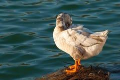 белизна утки Стоковые Фото