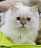 Белизна цвета персидского кота Стоковая Фотография