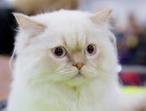 Белизна цвета персидского кота Стоковое Фото