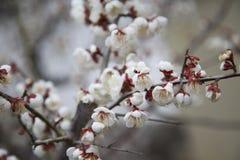 белизна цветения Стоковое Изображение