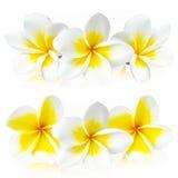 белизна цветка изолированная frangipani Стоковые Фото