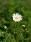белизна цветка космоса Стоковая Фотография RF