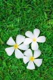белизна цветка предпосылки изолированная травой Стоковые Фотографии RF