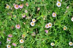 белизна цветка предпосылки изолированная травой Стоковое Изображение