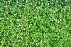 белизна цветка предпосылки изолированная травой Стоковые Изображения RF