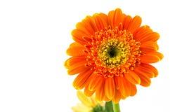белизна цветка предпосылки изолированная gerbera померанцовая Стоковые Фотографии RF