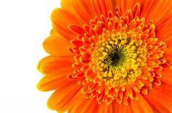 белизна цветка предпосылки изолированная gerbera померанцовая Стоковые Изображения
