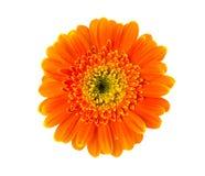 белизна цветка предпосылки изолированная gerbera померанцовая Стоковое Изображение RF