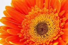 белизна цветка предпосылки изолированная gerbera померанцовая Стоковое Изображение