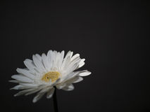 белизна цветка предпосылки темная стоковое изображение