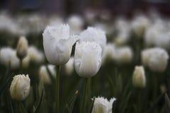 Белизна цветка тюльпана Стоковое Изображение