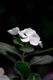 белизна цветка Стоковая Фотография