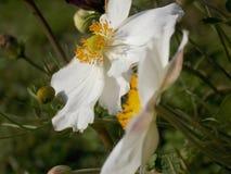 белизна цветка Стоковое Изображение