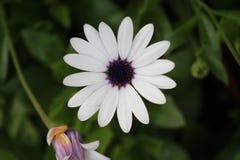 белизна цветка Стоковые Изображения RF