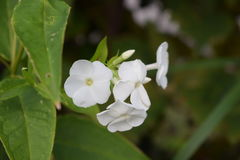 белизна цветка Стоковые Изображения