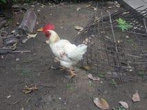белизна цыпленка Стоковые Изображения RF