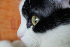 белизна черного кота Стоковые Фотографии RF