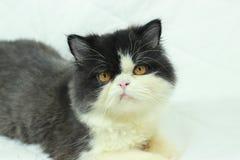 белизна черного кота Стоковые Изображения RF