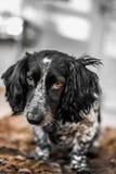 белизна черной собаки Стоковое Изображение