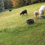 белизна черных овец Стоковые Фото