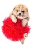 белизна щенка портрета inu собаки предпосылки akita Изолированный портрет Стоковая Фотография RF
