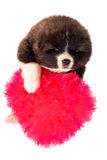 белизна щенка портрета inu собаки предпосылки akita Изолированный портрет Стоковые Изображения RF