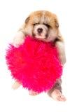белизна щенка портрета inu собаки предпосылки akita Изолированный портрет Стоковая Фотография