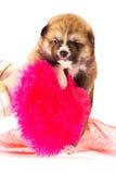 белизна щенка портрета inu собаки предпосылки akita Стоковое Изображение