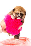 белизна щенка портрета inu собаки предпосылки akita Стоковые Фото