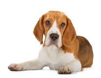 белизна щенка предпосылки изолированная beagle Стоковые Фото