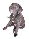 белизна щенка corso тросточки предпосылки Стоковое фото RF