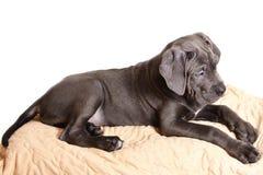 белизна щенка corso тросточки предпосылки Стоковые Фотографии RF