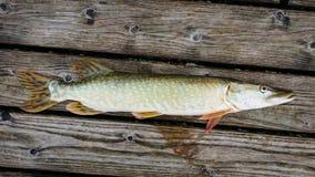 белизна щуки предпосылки изолированная рыбами Стоковые Фото