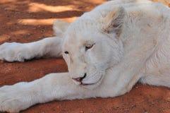 белизна льва новичка редкая Стоковые Изображения RF