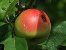 белизна яблока изолированная предпосылкой красная Стоковое фото RF