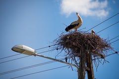 Белизна bocian птицы красоты изумительная черная Стоковые Изображения RF