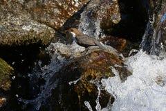 белизна dipper throated стоковое изображение rf