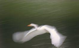 белизна egret большая Стоковые Изображения RF