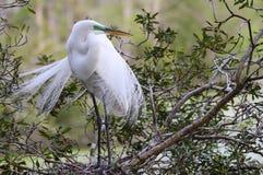 белизна egret большая Стоковое Изображение