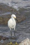 белизна egret большая Стоковые Фото