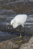 белизна egret большая Стоковое фото RF